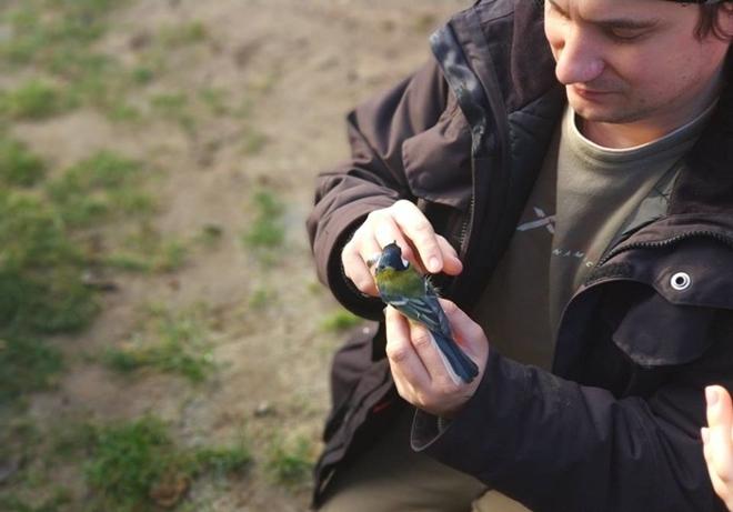 Sikora w rękach przyrodnika