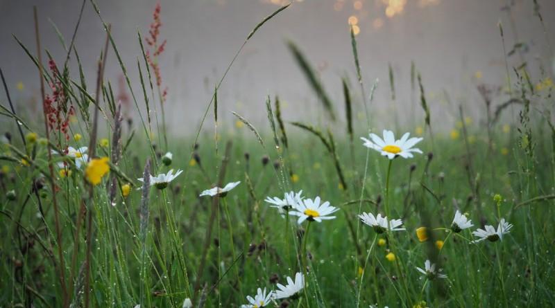 łąka kwietna Czerńczyce2
