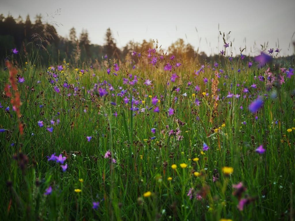 Przykład łąki kwietnej. Fot. Małgorzata Piszczek